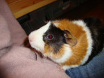 canasson - Male Guinea pig (1 year)
