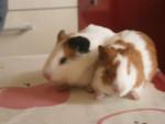 manolito - Male Short coated Guinea pig (3 years)